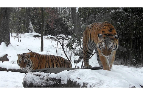 Siberian Tiger Triplets Play In the First Snow of 2012 ...
