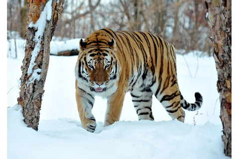 Pictures of Tigers in the Snow | POPSUGAR Pets